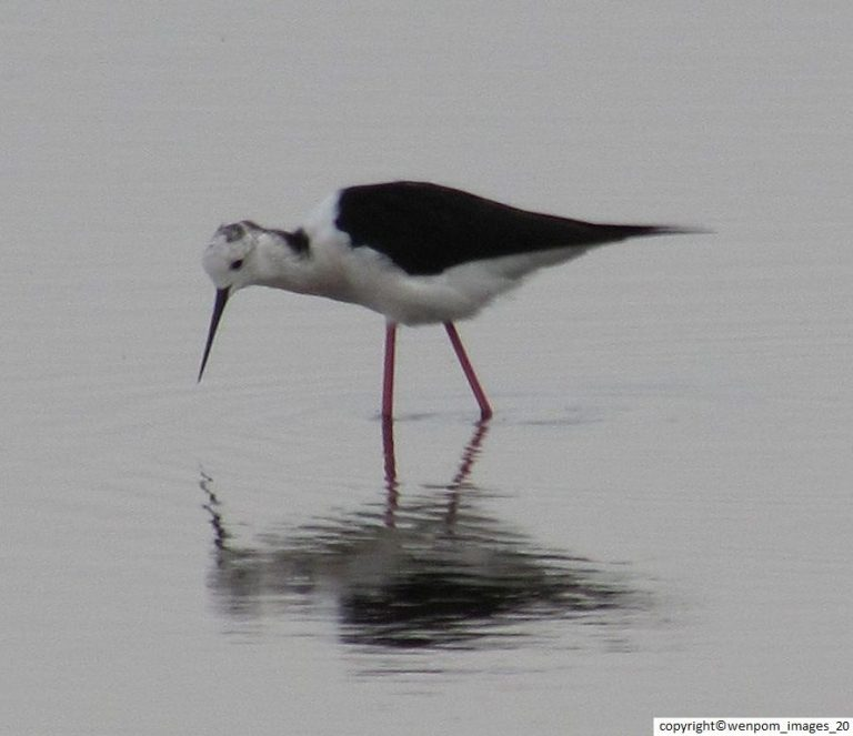 Black-winged Stilt_Himantopus himantopus6