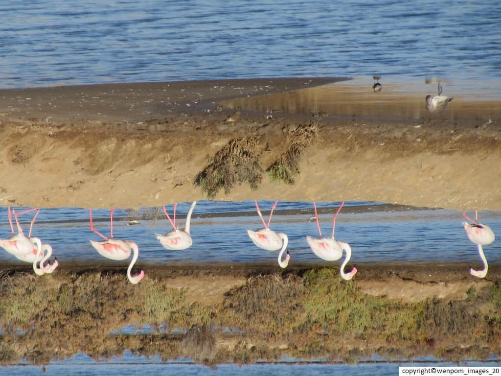 Flamingoes_24_8_15_2
