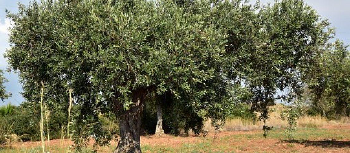 olive-tree-3662627__340
